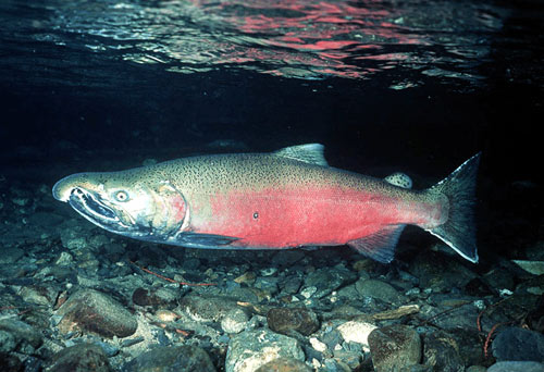 http://bullsheet.files.wordpress.com/2008/10/coho-salmon.jpg