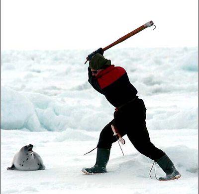 Canada's seal clubbing season